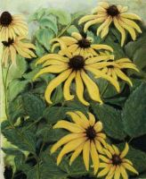 Black Eye Susan - Fine Art Print